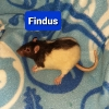Bock Findus